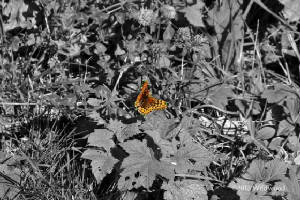 Butterfly at Larch Mountain