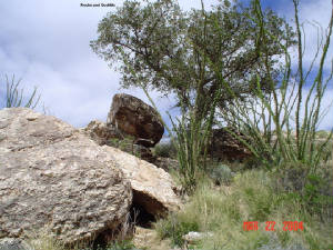 Ocotillo in the Rocks